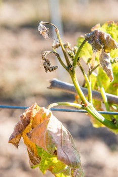 After the frosts, news from the vineyards of the South of France, Occitanie and the Languedoc
